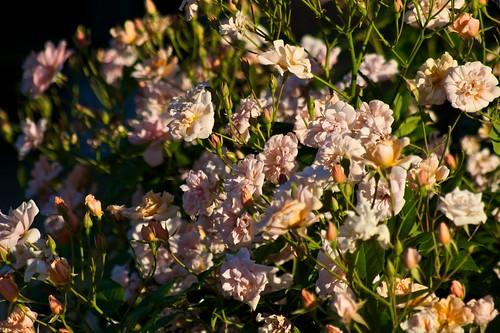 Perle D'Or Rose in Morning Sunlight