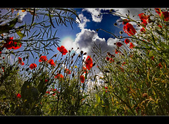Towering Poppies | EXPLORED |