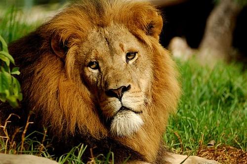 male lion by painteddog