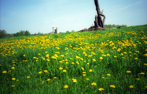 Dandelions in a field