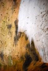 Cocobolo Driftwood tree in San Juanillo, Costa Rica