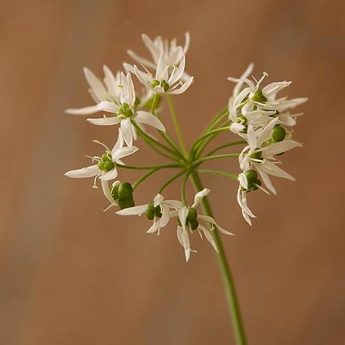 Aglio orsino (Allium ursinum L.). Licenza Creative Commons