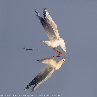 紅嘴鷗 Common Black Headed Gull