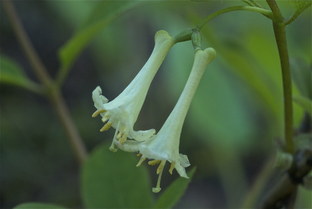Utah honeysuckle, Rocky Mountain honeysuckle