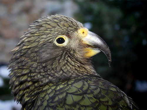 Kea / Bergpapagei / Mountain Parrot / Kea Parrot (Nestor notabilis)