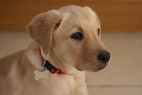 The Most Famous Animals in Television Advertising  Golden Labrador Puppy