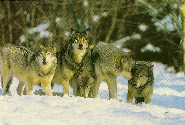 Russia Native Animals Wolves Card Received From Mzk