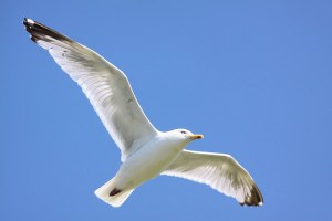 Seagul - Anglesey 2009 from Flickr via Wylio