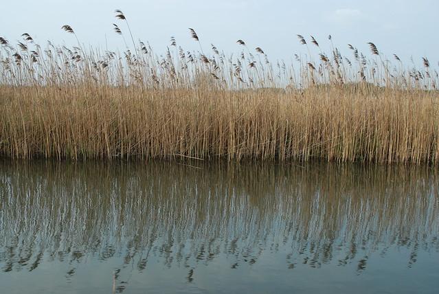 DSC_0537-reeds-refl