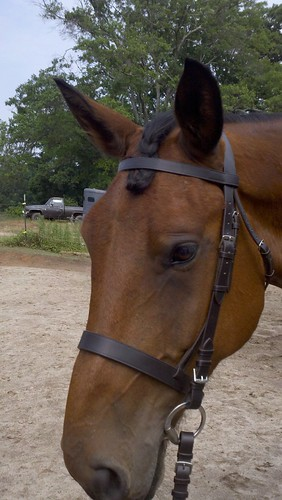 Bax in his new bridle