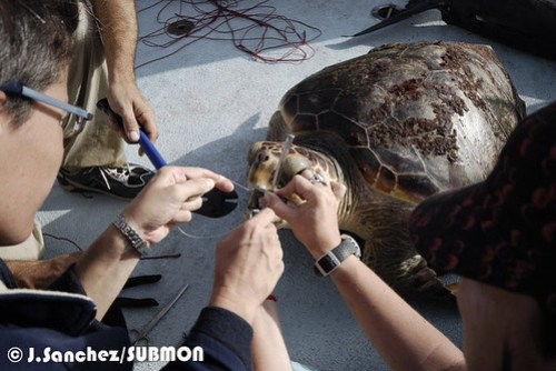 Trabajando con una tortuga boba capturada por palangre