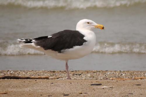 Greater Blackbacked Gull