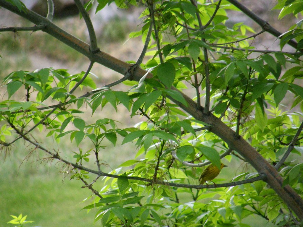Yellow Warbler partially concealed by leaves on a tree branch