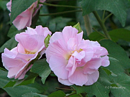 Sthal-Padma (Land-Lotus ) - Hibiscus mutabilis