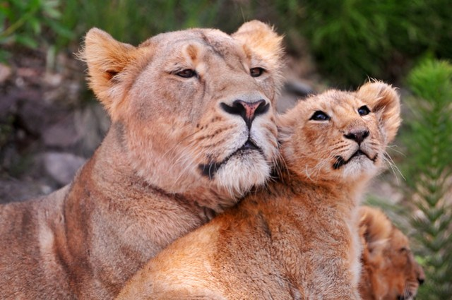 Another lovely lion picture! ;)
