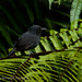 Uniform Antshrike (Thamnophilus unicolor) male