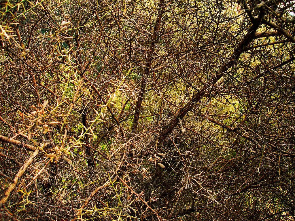 Prickly bush  - Ασπάλαθος, ο βασιλιάς της ερημιάς