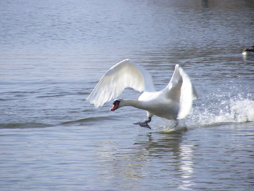 Swan walking on water Thorpeness