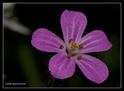 "Blüte des ""Stinkenden Storchschnabels"" / Wild geranium por hardi_630 (off for a while, taking pictures)"