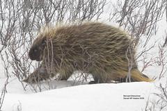 Porcupine, Alaska