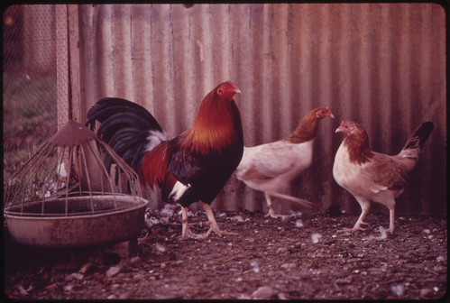 Gamecocks on a Farm near Leakey, Texas, and San Antonio, 12/1973