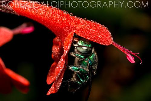 Halictidae by Roberto_Aloi