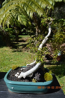 One of many bonsai in the garden