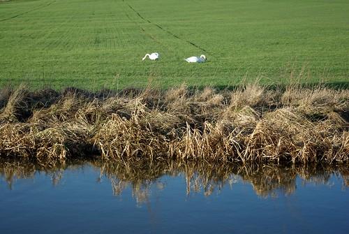 20120219-74_Grazing Swans by gary.hadden
