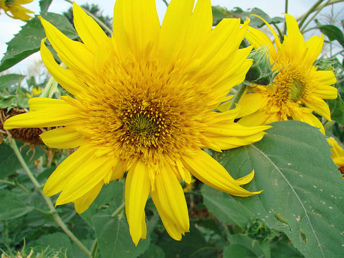 SunflowerTeddy