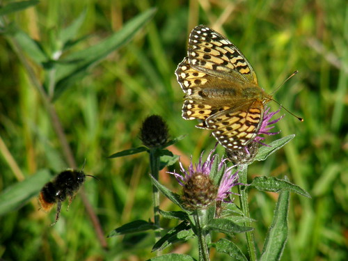 Dark green fritillary with bumble bee in flight