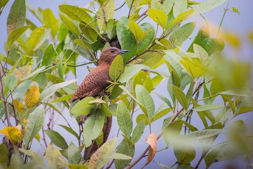 Rufous Woodpecker (female)