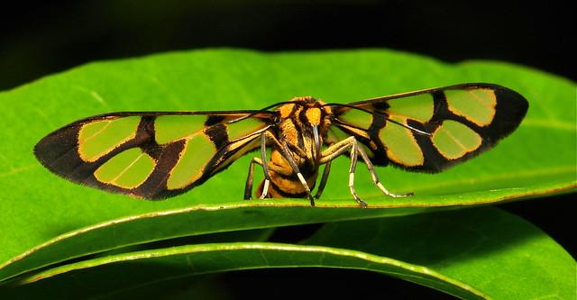 Wasp Moth (Arctiinae, Erebidae)
