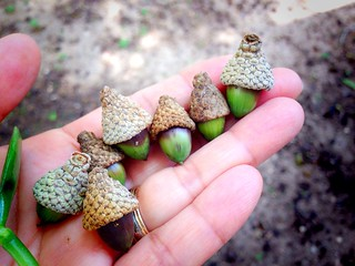 Cutest little acorns ever