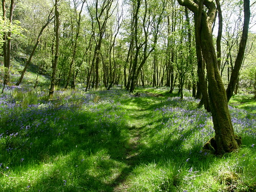 A path through the bluebells