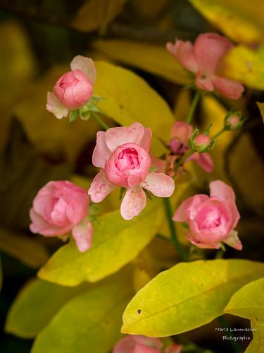 rosa Röslein