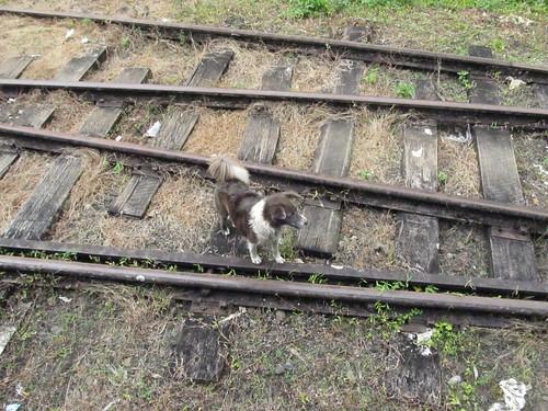 Stray dog on the tracks