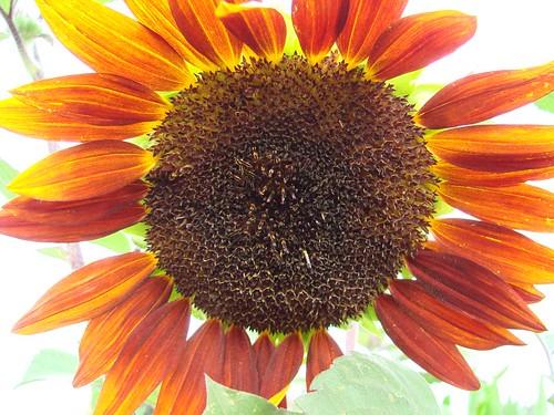 SunflowerPow