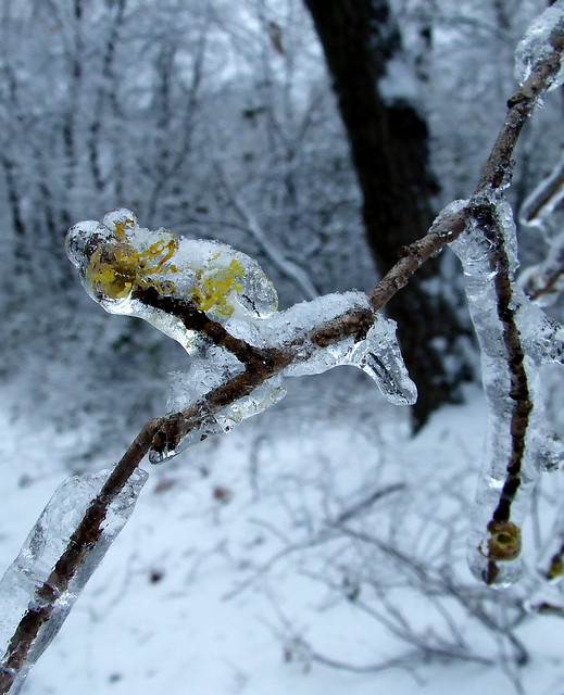 witch hazel blossoms under ice