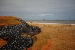 Fotografia de uma tartaruga na praia em Cayenne