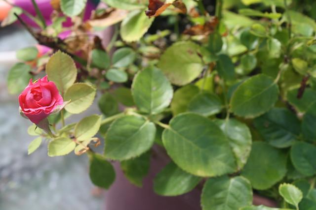 mini-rose