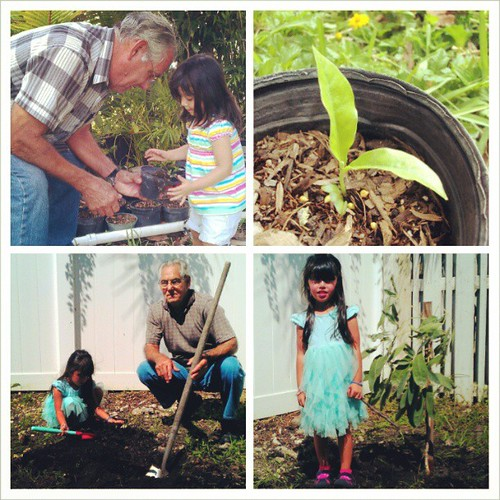 transplanting the golden trumpet tree they started 17 months ago