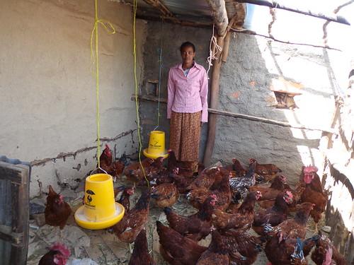 Abrehet Tareke  with her hens in Centeral Tigray zone (Photo: ILRI\Yayneshet Tesfay)