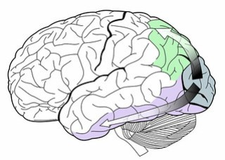 Image  the dorsal stream (green) and ventral stream (purple) in the human brain visual system.