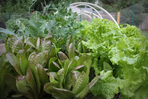 20130529. State of the garden - lettuce.