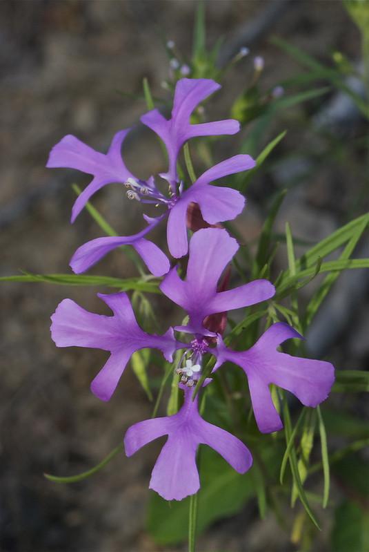 Ragged Robin, Clarkia pulchella, Pinkfairies, Deerhorn