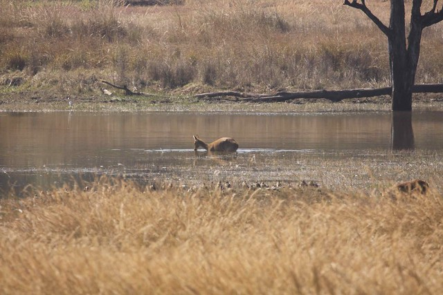 Barasingha in the water