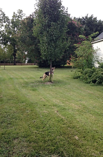 Practicing off-leash recall in the front yard