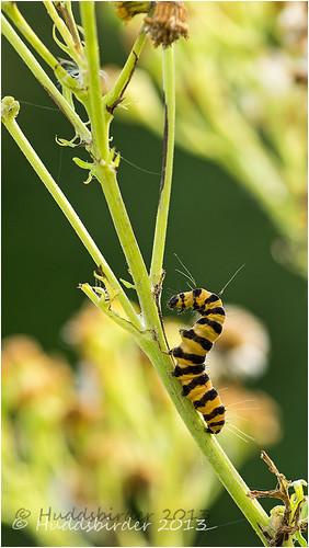 Cinnabar Moth Catapillar 3