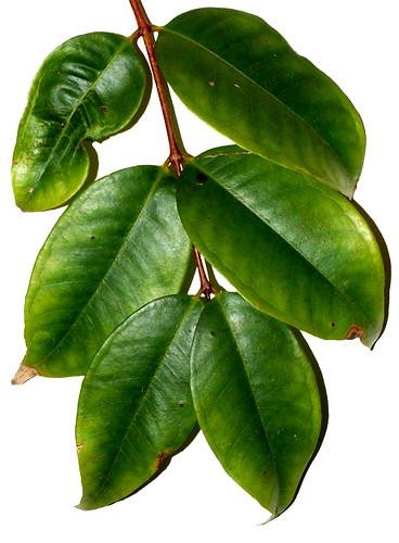 Syzygium xerampelinum DSC_0163 (3)