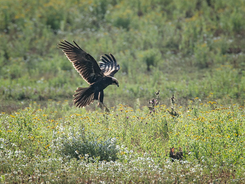 Marsh Harrier and rabbit